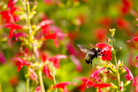 polen: Bumble Bee Stock Photo