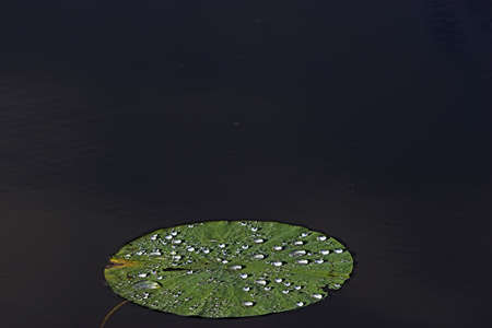 Lily pad with dew photo