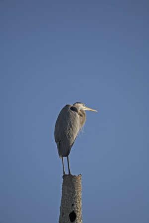 gray herons: Great Blue Heron Stock Photo