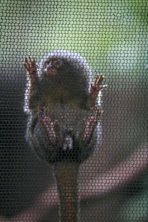 pigmy: Marmoset on cage Stock Photo