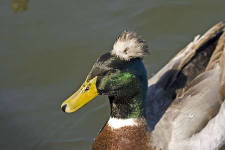 Duck with mohawk Stock Photo - 320382