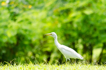 A White Heron in the garden in the morning. Stock Photo