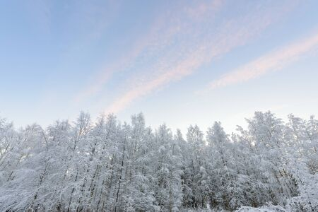 The forest has covered with heavy snow and clear blue sky in winter season at Lapland, Finland.