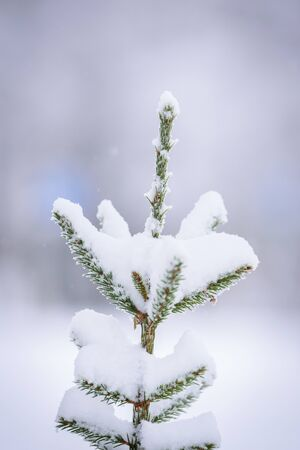 The branch of tree has covered with heavy snow in winter season at Lapland, Finland.