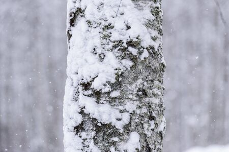 The tree has covered with heavy snow in winter season at Lapland, Finland. Stockfoto