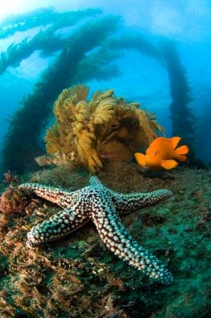 alga marina: Un arrecife de agua fr�a en California alberga a una estrella de mar, naranja brillante Garibaldi, oscila algas y abanicos de mar marr�n.  Foto de archivo