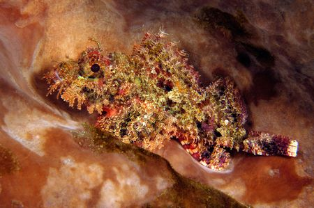 scorpionfish: Colorful scorpionfish in Indonesia sits on the bottom staring into my camera.  These animals are poisonous and have stinging spines in their fins.  The vibrant color is a visual warning to other animals that it is poisonous.