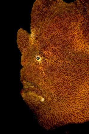 Frogfish sits still on a reef at night as I swim by and photograph it.  Frogfish usually look like the sponge that surrounds it so as to provide camouflage.