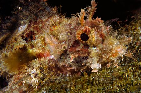A tropical sculpin with poisonous spines rests atop a reef during a scuba dive