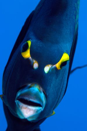 An angelfish stares into my camera port on a reef in Honduras Stock Photo - 1943462