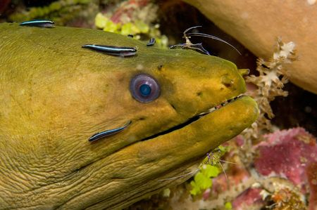 A moray eel is getting cleaned by some cleaner shrimp and cleaner fish.  This image was shot in 100 feet of water and I found this guy poking out of a crevice and spotted the cleaning station.  The cleaning is done to remove tiny parasites that the shrimp