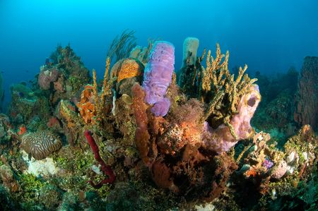 invertabrate: A fragile, yet colorful coral reef in Honduras Stock Photo