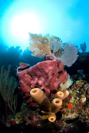 adorned: A giant pink barrel sponge is adorned with tube sponges and gorgonian sea fans