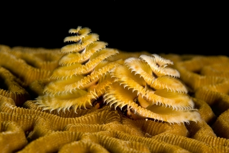 gills: A small marine worm called a spiral gilled tube worm (aka Christmas Tree Worm) uses its frilly gills to feed.  This one has grown its tube on some brain coral.  The image was shot at night on a ship wreck. Stock Photo