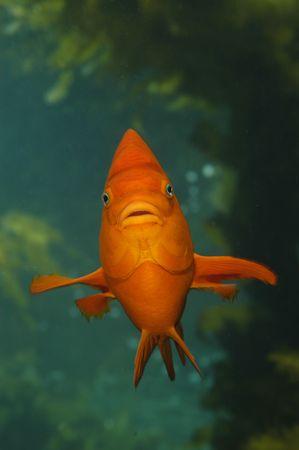 garibaldi: A garibaldi hoovers in a kelp bed off of Catalina Island