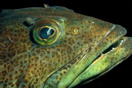 This image is of a ling cod at night time.  It is actually sleeping so it was relatively easy to photograph. Stock Photo - 1943514