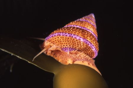pristine corals: A purple ringed top snail crawls on kelp during a night dive at Santa Rosa Island in the Channel Islands