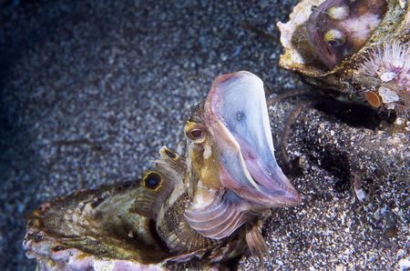 territorial: A sarcastic fringehead blenny uses its yawning feature to warn off nearby fringeheads.  This is a territorial display.