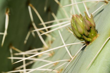 A close up of a prickly pear cactus bud and its thorn. Banco de Imagens - 3139670