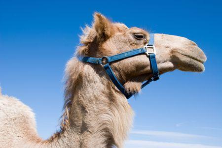 A close up of a camel shows its detailed composition Banco de Imagens - 3139676