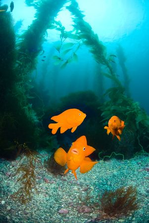 garibaldi: Three orange garibaldi fish swim in a kelp bed that looks like a clear water aquarium.   Excellent image for showing nature and interaction. Stock Photo