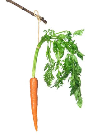 A fresh carrot dangles off of a stick. photo