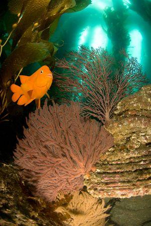 sea fans: An orange garibaldi fish swims overa reef with sea fans, kelp and blue water.