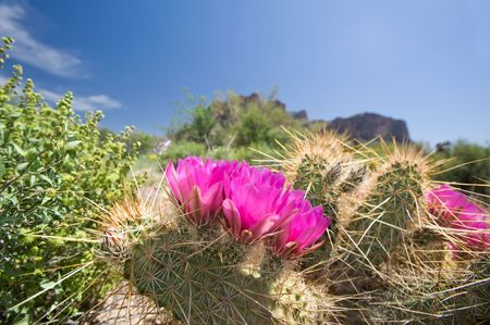 Blooming cactus flowers in an Arizoina desert. photo