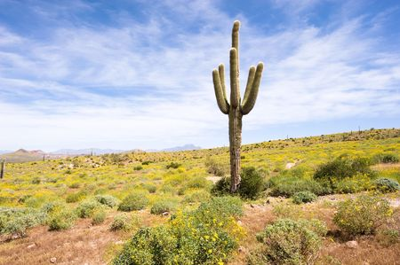 desert cactus: A sagurao cactus in an Arizona desert is surrounded by yellow wildflowers. Stock Photo