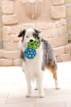 head toy: A pure breed Australian Shepard holding two toy balls and waiting for someone to play with him.