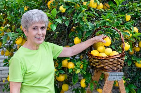 A senior adult woman is picking lemons and placing them in her wicker basket. photo