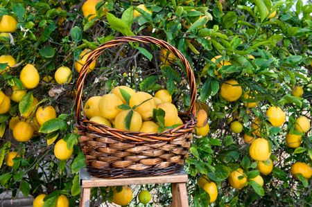 Freshly picked lemons in a basket resting on a ladder. photo