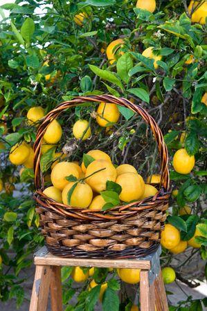 mimbre: Limones recién cosechados desde un árbol de limón madura.