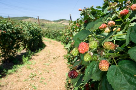 An fresh fruit organic berry orchard shows the row of fruit bushes.