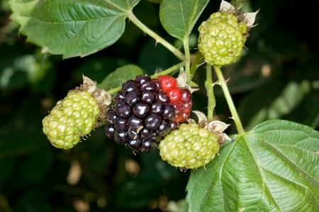 blackberry bush: Blackberry bush with new fruit growing on an organic orchard farm. Stock Photo