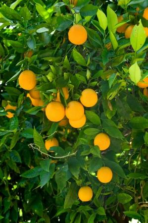 naranja arbol: Maduras naranjas org�nicas colgando de un �rbol de color naranja.  Foto de archivo