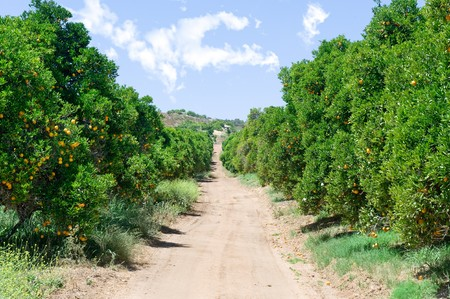 An orange grove with fresh, ripe oranges and a blue sky. Stock Photo - 7443749