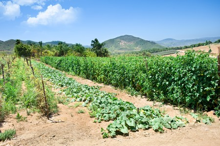 A vibrant vegetable crop at an organic farm during a beautiful day. Stock Photo - 7443748