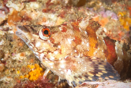 An underwater fish called a painted greenling rests motionless on a reef in California.