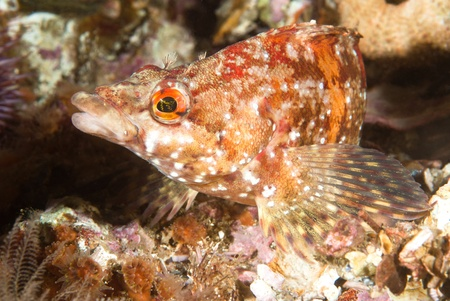 greenling: An underwater fish called a painted greenling rests motionless on a reef in California.