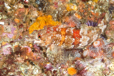 greenling: A beautiful, colorful image of a painted greenling fish on a vibrant reef covered with invetebrate life such as anemones and corals. Stock Photo