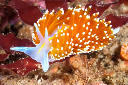 get across: A aeolid nudibranch called hermissenda crawls across a blue rock surface on a reef in California.  Nudibranchs have stinging cells similar to a jellyfish so when other animals try to eat them they get zapped. Stock Photo