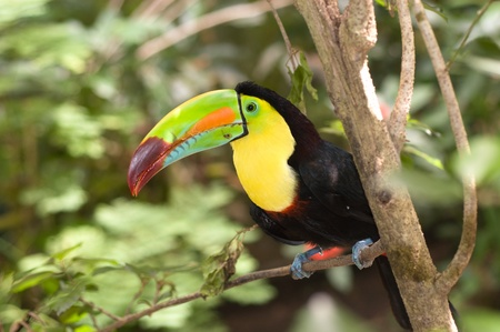 A beautifully colored Toucan sits perched in a tropical rainforest tree. photo