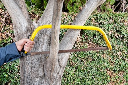tree trimming: A gardener gets ready to saw off a tree branch