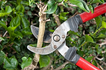 pruning shears: Tree pruning sheers getting ready to cut into a branch during gardening