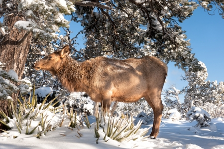 untamed: A female elk discovered along the rim in the Grand Canyon during a snowy winter day of hiking.