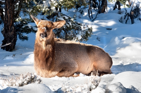 untamed: An elk sits in the snow to rest in between feeding cycles.  Image shot at the Grand Canyon national park in Arizona.