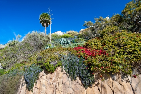 orange county: A cliff of sandstone along Laguna Beach California shows blooming, vibrant flowers growing down the basin