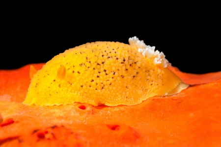An underwater snail called a lemon nudibranch crawls over orange sponge while feeding. Stock Photo - 19603836