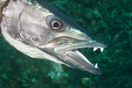 barracuda: A hunting barracuda shows its long, sharp teeth just before grabbing a fish for his lunch. Stock Photo